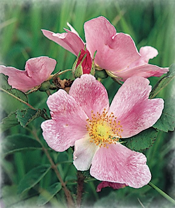 state flower wild prairie rose jamesyn discovers north dakota pinterest flower us. Black Bedroom Furniture Sets. Home Design Ideas