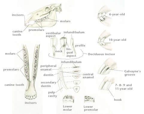 Horse Teeth Age Chart - LFA #2538 Equine Dental Anatomy Wall Chart - MTM