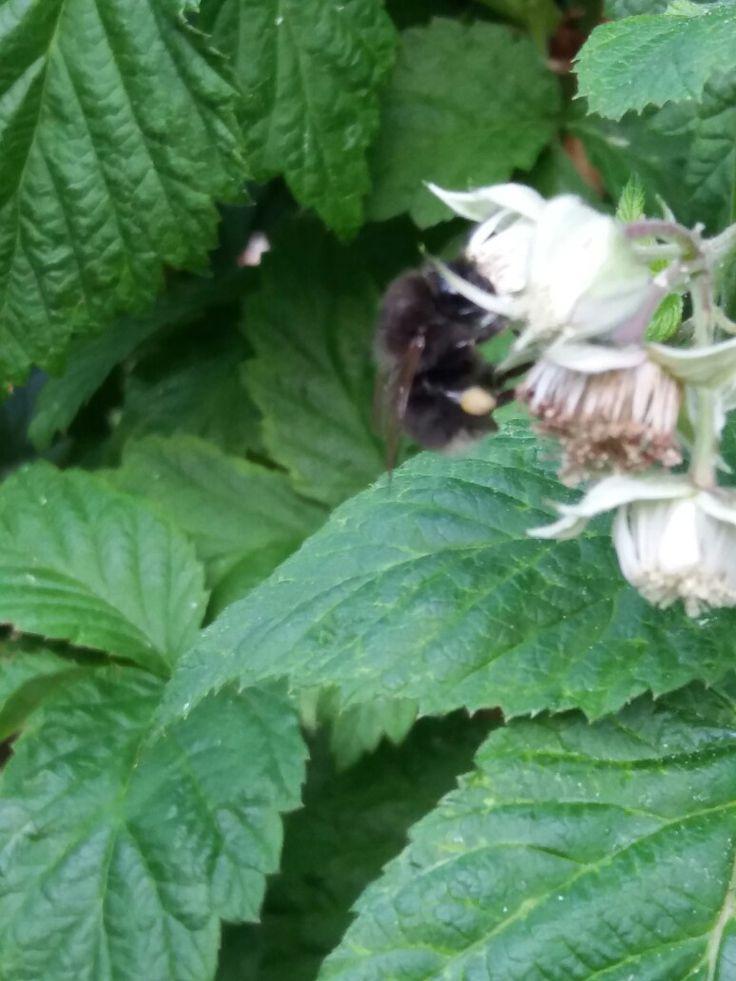 Název - Čmelák zemní (Bombus terrestris) Místo focení - Naše zahrada