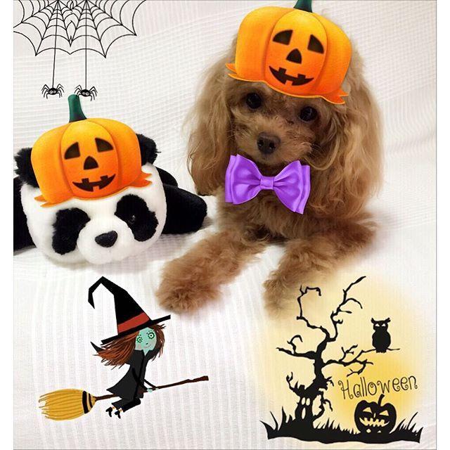 あちこちでハロウィングッズを目にすると、 やりたくなるなる📸🎃👻😈 * * * * * #halloween  #ハロウィン #トイプードル #プードル #トイプードル部 #トイプードル大好き #頑張れ英奈  #愛犬  #ティーカッププードル #dog #dogsofinstagram #toypoodle #poodle #teacuppoodle #mypet #mydog #instadog #cutedog #love #instagood #lovemydog #instapoodle #all_dog_japan
