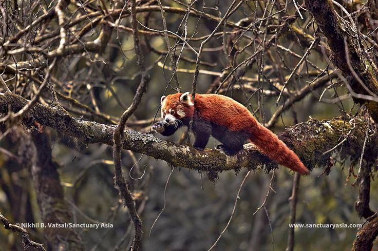 "I'm happy to share with all my followers - Sanctuary Asia has used my Red Panda image in one of their articles ""Nature, By India's Northeast"". #SanctauryAsia #wildlife #photography #RedPanda #Himalayas #NBVphotography Link to the article : http://bit.ly/2uYvZo6"