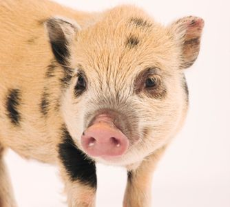Pot bellied pigs will eat a variety of foods but that doesn't mean anything goes. Find out what your pot bellied pig should and should not eat.