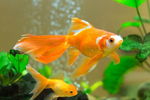What Is The Correct Way Of Keeping Goldfish Goldfish Tank Goldfish Breeding Goldfish