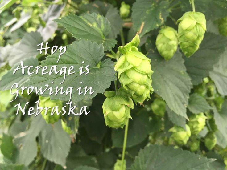 Hop Acreage is Growing in Nebraska: hop basics, local interest