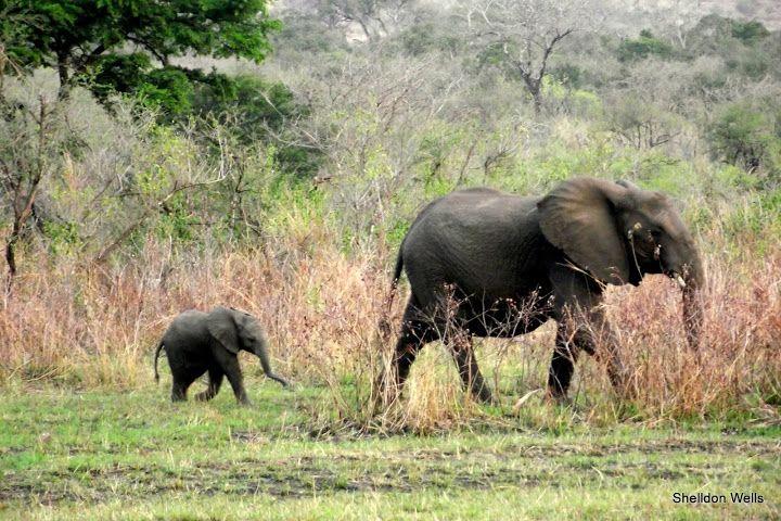 elephant in the hluhluwe imfolozi game reserve
