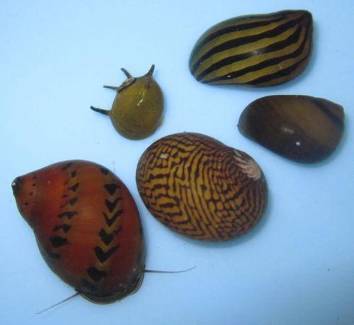 5-mixed-live-Nerite-Snails-Live-Freshwater-Aquarium-snails