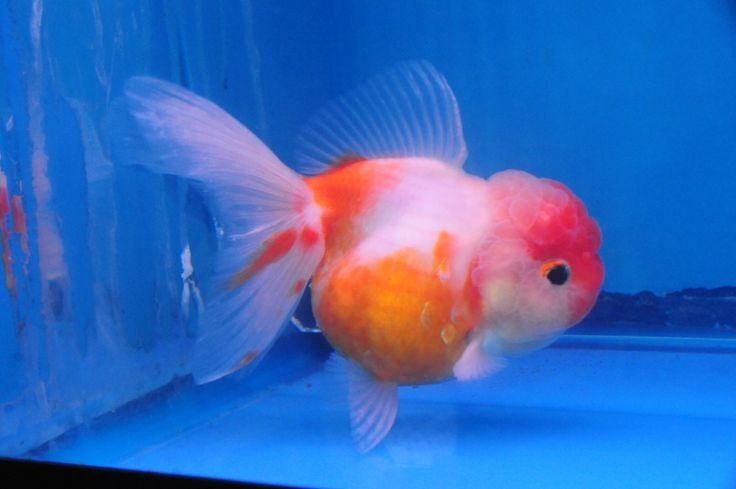 Sakura Oranda 187 Dandyorandas Com Goldfish Pinterest