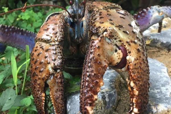 Study: Coconut crab out-pinches all other crustaceans. Projections suggest an especially large coconut crab can generate a pinching force of 3,300 newtons. No other crustacean species can generate such tremendous force. The claws of the coconut crab even outdo the jaws of terrestrial animals. Only the alligator has a biting force greater than 3,300 newtons. - UPI.com