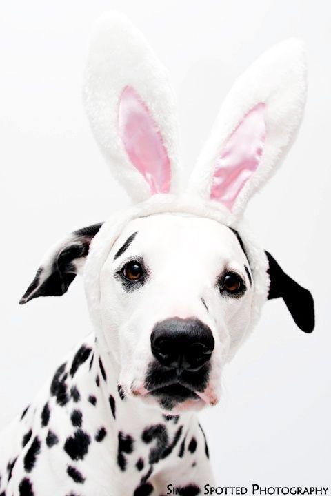 Easter Dalmatian | aww! #dalmatian | Dalmations