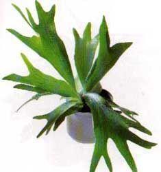 Cuerno de alce, Helecho australiano - Platycerium bifurcatum