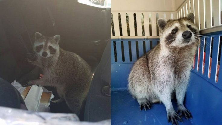 No one wants their car broken into, but sometimes you gotta give credit where credit is due. Consider, for example, this mother raccoon, who climbed through a plastic window cover and tumbled into the backseat of a parked convertible at an auto shop so she could safely give birth to her kits.   #clever raccoon #mother raccoon #raccoon #raccoons