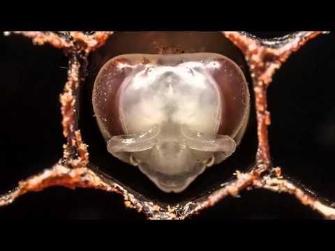 A méhek 21 napos fejlődése 1 percben - YouTube