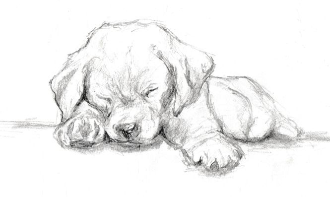 Schnelle Graphitskizze eines Labrador-Welpen  – Stacy Ezor –