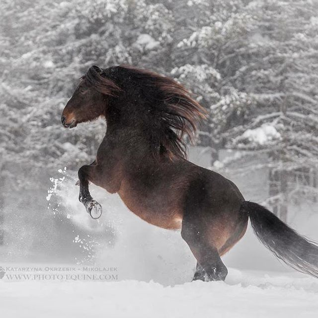 If you ever will get a crazy idea to photograph horses in heavy blizzard, make sure that you took your boots and gloves heaters, that your models love winter, and that their owners are crazy enough to run with their horses regardless of extreme weather conditions!  One of such a beautiful compilation we experienced today on our Equine Photography Tour in Canada - yes, this is proper winter adventure!  On photograph Canadian stallion Lacadienne Sam*Set Bright*Sun, proudly owned by one of…