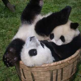 Pandas! All for one! ! One for all . Can you see how many are squeezed in that…