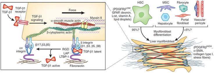 Latent TGF-[beta]1 activation by [alpha]v integrins contribute to myofibroblast differentiation in hepatic stellate cells.