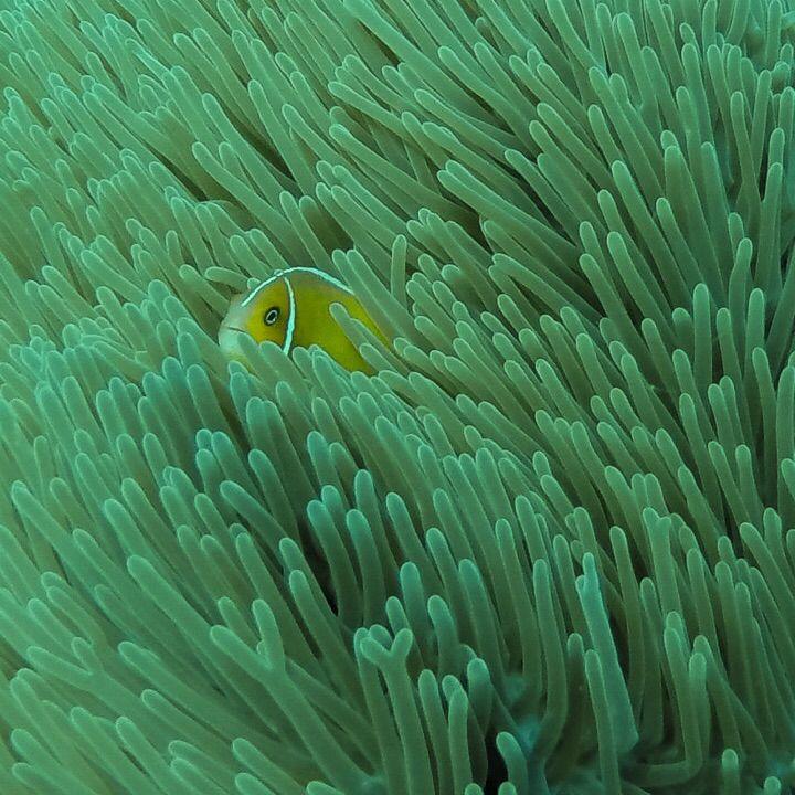 Anemone off Port Vila, Vanuatu.