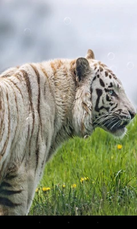 How long do Bengal tigers live?