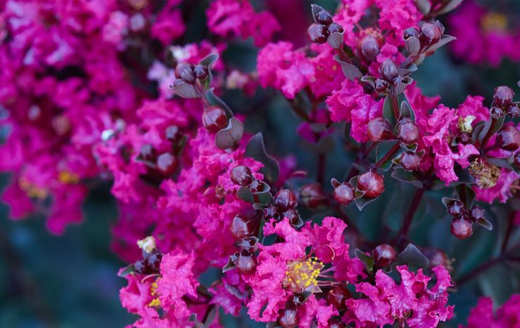 Mystic Magenta Crape Myrtle is a new introduction from the famous #BlackDiamond line that definitely brings the mystery to your home #garden. This garden stunner will stand out no matter where you put it in your landscape. The magenta-pink blooms really stand out against the black foliage. They are so full and ruffled you won't think they are real. This intermediate #crapemyrtle #blooms from spring through #fall. It only grows to about 10' tall and 8' wide.