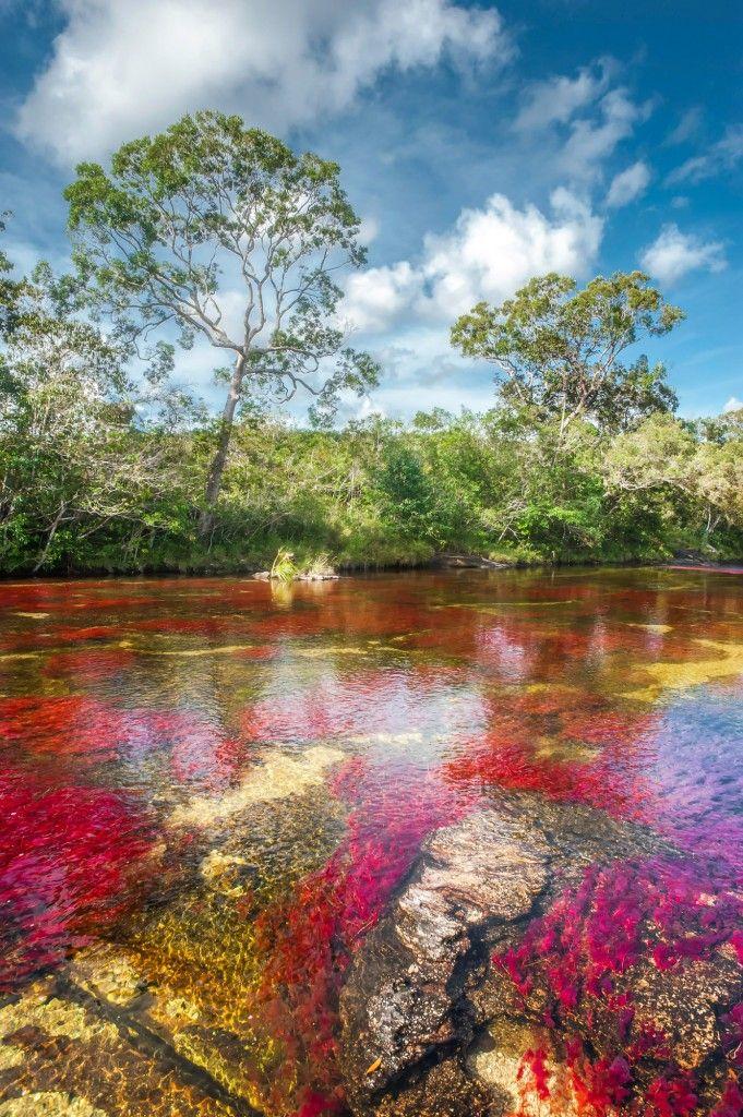 Uno de los sectores más bonitos en la visita a Caño Cristales es el que llaman El Tapete, donde la planta macarenia clavigera abunda y da colores rojos hermosos