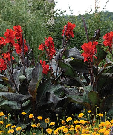This Black Knight Cannas Bulb - Set of Six is perfect! #zulilyfinds