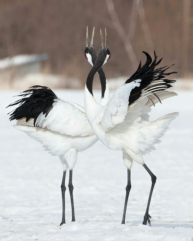 Japanese crane mating dance