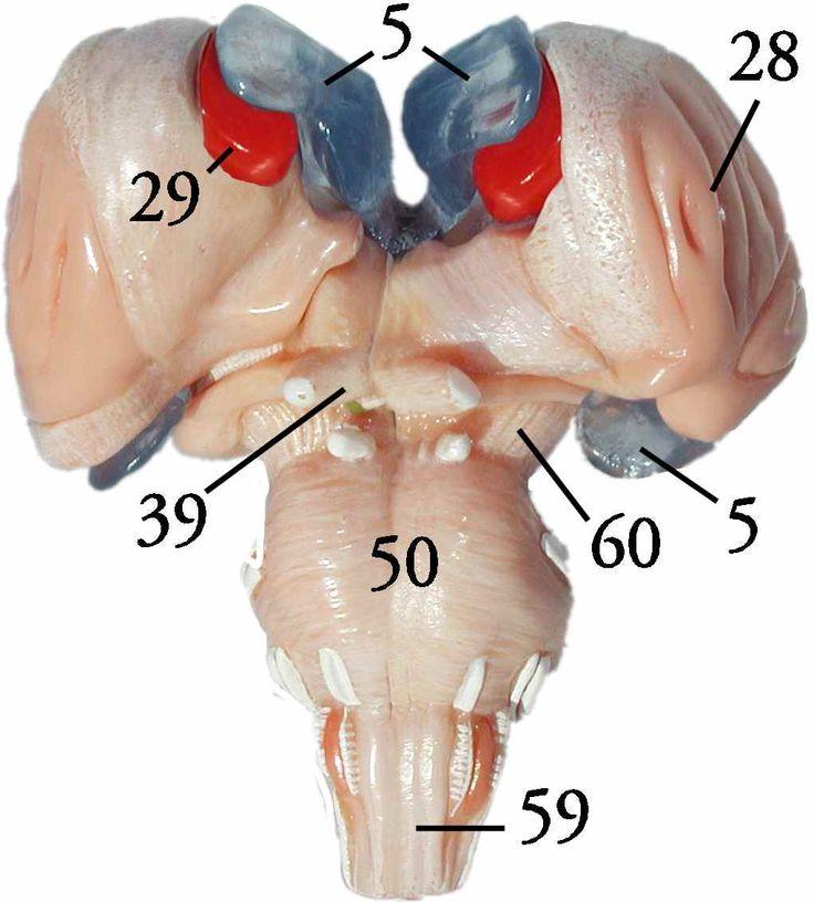 41 best Anatomy (Brain) images on Pinterest | Anatomy, Anatomy ...