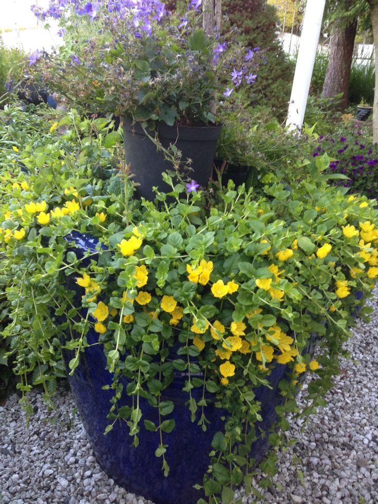 """KRYPFREDLØS - """"Lysimachia nummularia"""" - flerårig - bunndekkende eller som hengende hage - nydelig :) - Perennial My garden 1.7.14 IJ"""