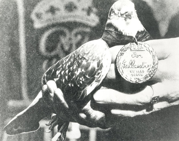 """GI Joe, Pigeon No USA 43 SC 6390, one of the many animal heroes awarded the Dickin Medal for their courage and contribution during wartime.  David Long has written a new book, """"Animal Heroes"""", which tells the incredible stories behind the amazing animals that earned their Dickin Medal."""
