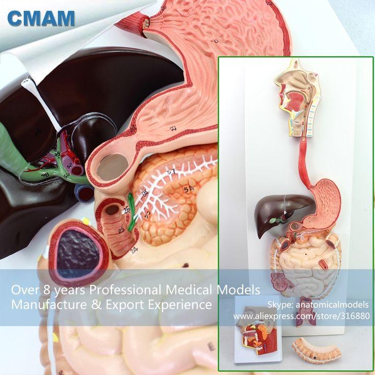 236.00$  Watch now - http://alih4b.worldwells.pw/go.php?t=32720789252 - CMAM-VISCERA11 Human Digestive System Model For School Supply, 3 part