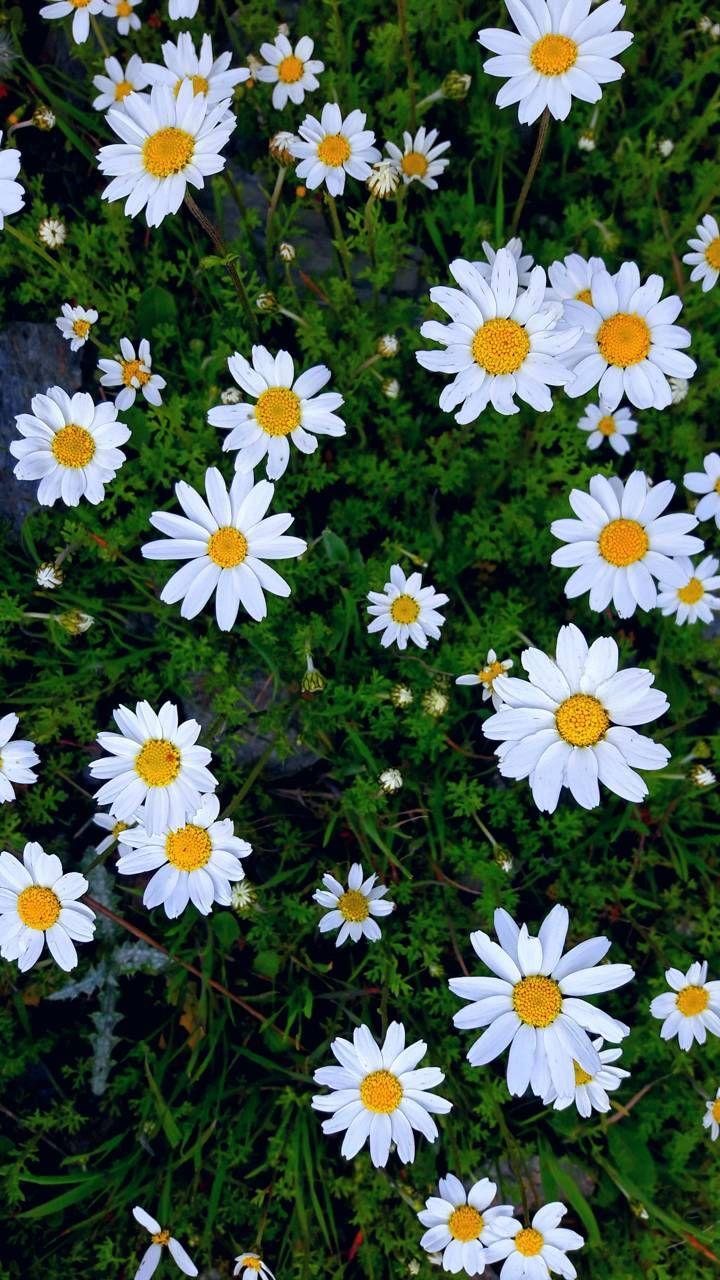 Wallpaper Bunga Daisy Putih – WallpaperShit