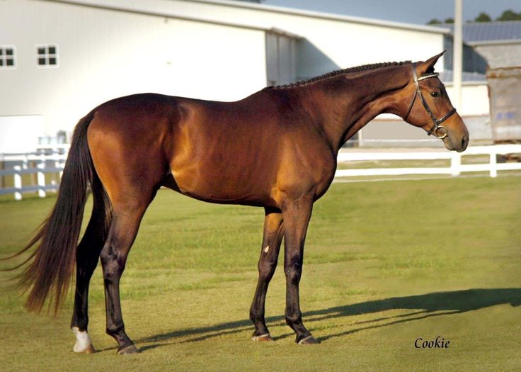 A great example of the original Trakehner type form Germany. 2006 Approved Trakehner Stallion, Tatendrang