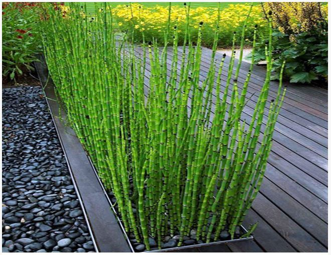 Rush (Horsetail) or Equisetum hyemale Bog Plant