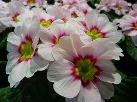 Zwiastuny wiosny - pierwiosnki - Ogrodowisko