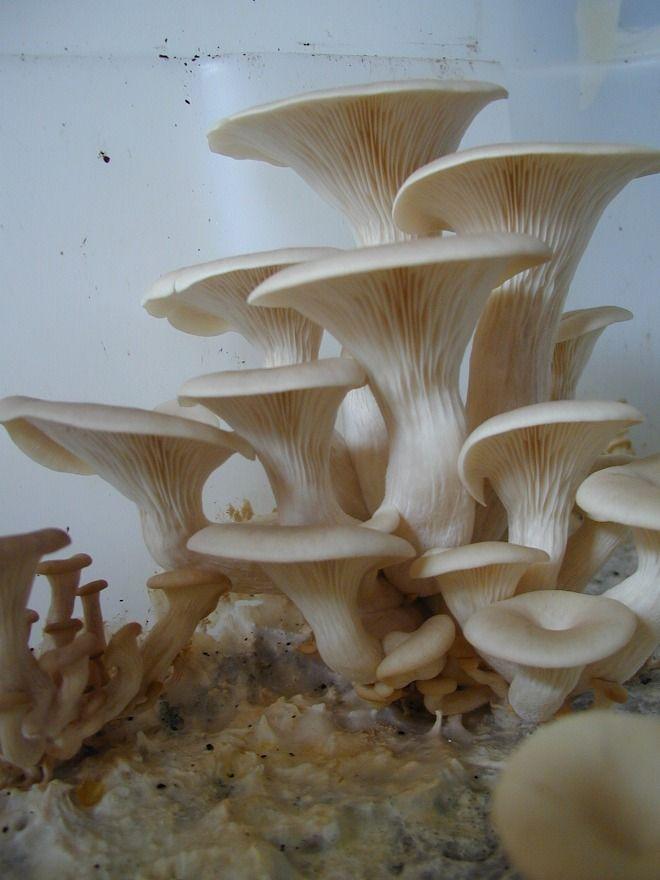 Let 39 s grow oyster mushrooms mushroom man pinterest mushrooms and oysters - Growing oyster mushrooms profit ...