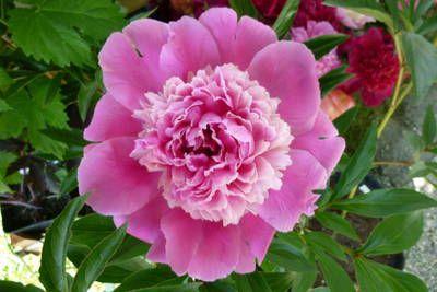 blumengarten andrea köttner: Pfingstrosen, Taglilien, Iris: Pfingstrose Madame Furtado, Paeonia lactiflora