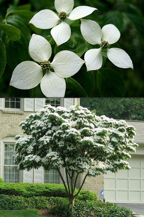 White Chinese Dogwood Cornus Kousa Trees For Online