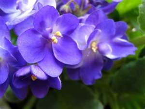 I miss violets.Favorite Things, Favorite Colors, Beautiful Ideas, Google Search, Delicate Violets, Amazing Colors, Beautiful Gardens, African Violets, Purple Flower