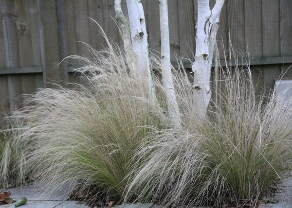 Stipa tenuissima a gorgeous wispy pale yellow green with plumes of silver maturing to blonde buff (with multi stem silver birch) / repinned on Toby Designs