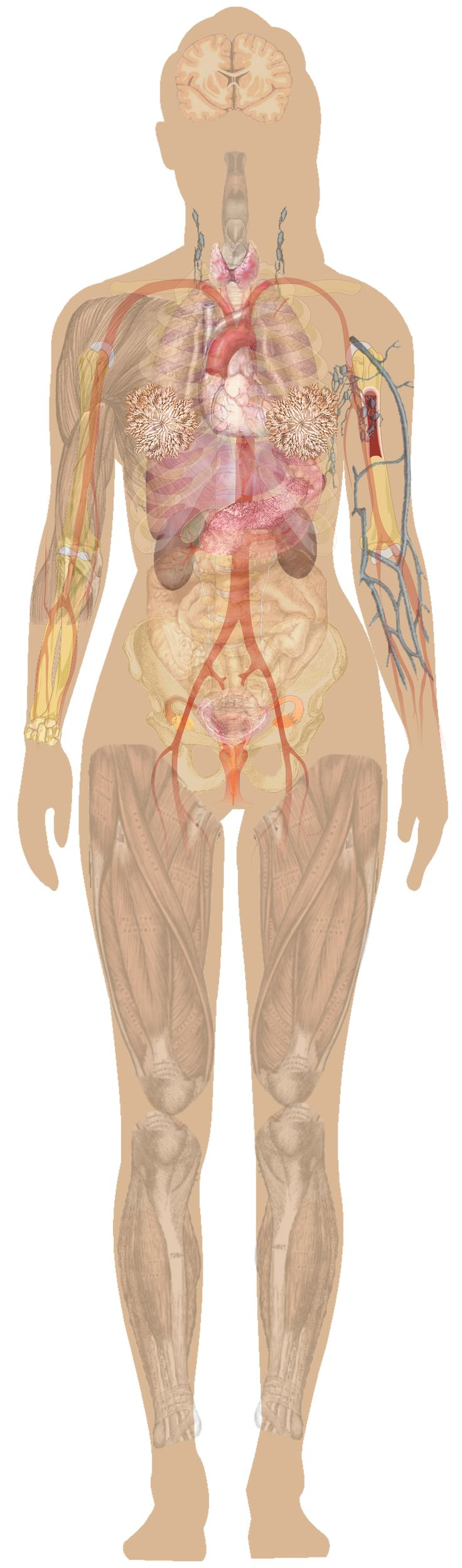 14 Best Images About Human Anatomy Female On Pinterest