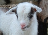 Backyard Goats – Urban Homestead Photo Gallery.  Read more about them.