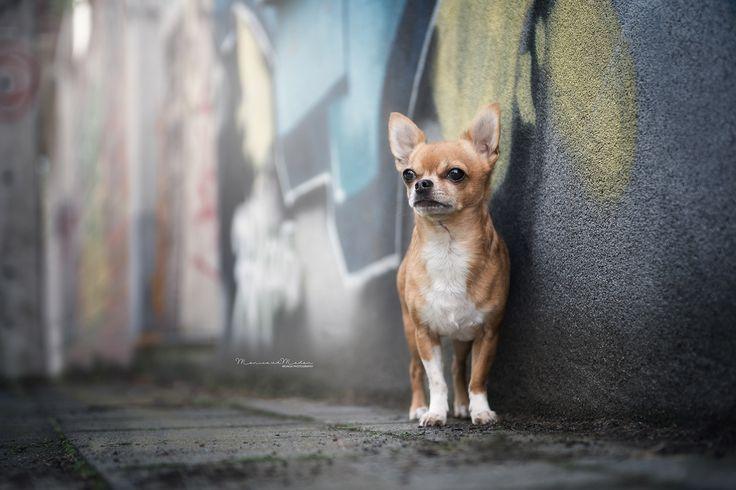 Chihuahua in een graffiti omgeving, een keer wat anders dan in het bos  #Hond #Fotografie #Chihuahua #stad #stoer