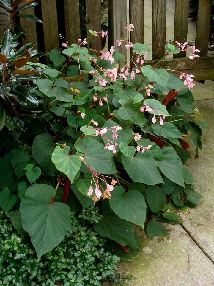 17 best images about open shade plants pacific nw on for Hardy plants for the garden