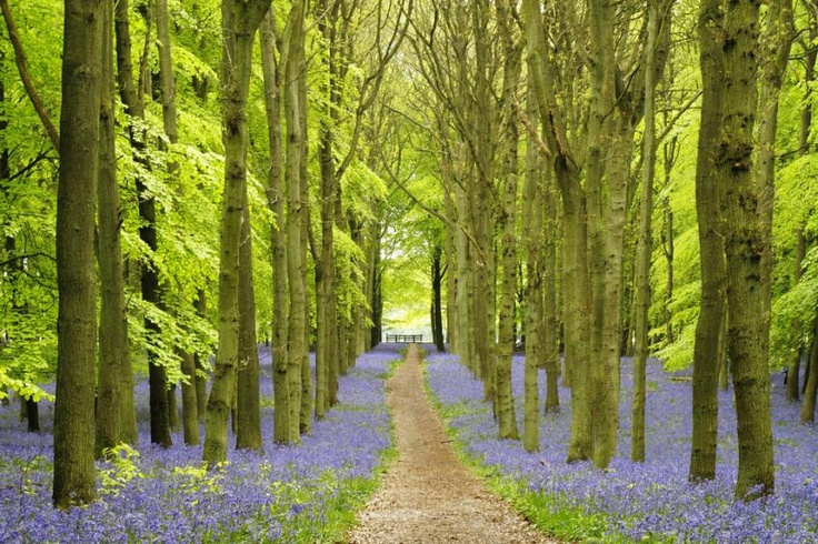 Bluebell Forests of Cotswold, England, very common view as you stroll the walking paths
