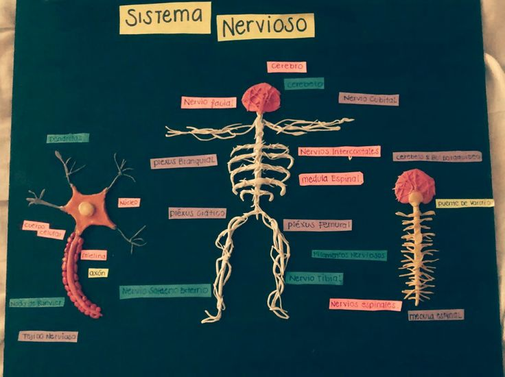 Sistema nervioso: Equipo 1 y 2 Acosta Alvarado Wendy Anahí Aguilar Tafoya Jorge   Vicente Parra Nancy Arely   Zavala Zarate Diana Carolina