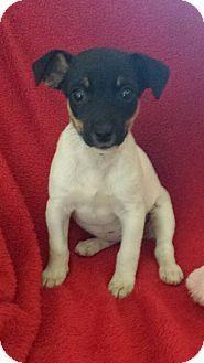 Richmond, MI - Jack Russell Terrier/Toy Fox Terrier Mix. Meet Minnie Mouse, a puppy for adoption. http://www.adoptapet.com/pet/16997097-richmond-michigan-jack-russell-terrier-mix