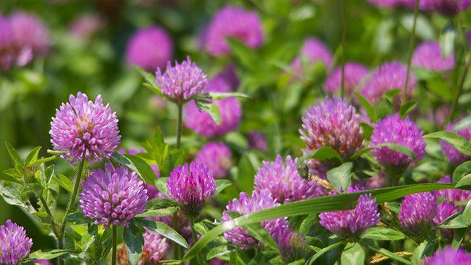 Полевые цветы — неприхотливые красавцы