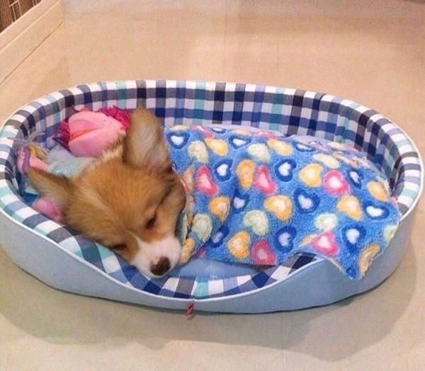 Round Pet Beds - perfect for Corgi  #corgi #corgioverload #cuteness #petoverload #welsh #pembroke