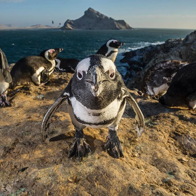Luxury A curious African penguin spots photographer thomaspeschak while foraging near their rookeries on