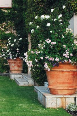 Once upon a time - Bryanston garden Rose-filled terracotta pots soften the hard lines of the house and are carefully positioned to form focal points. Delicate groundcovers like alyssum and million bells, add a touch of romance. Photograph: Connall Oosterbroek